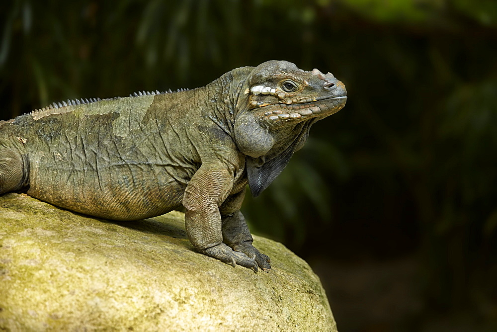 Rhinoceros Iguana on rock, Singapore Zoo