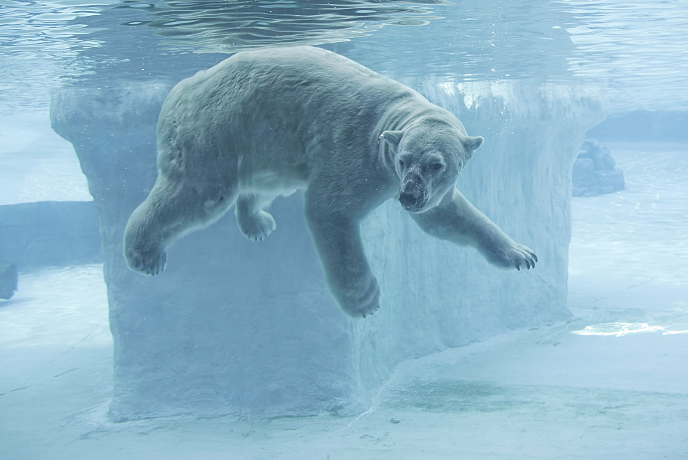 Polar Bear underwater, Singapore Zoo  - 860-282287