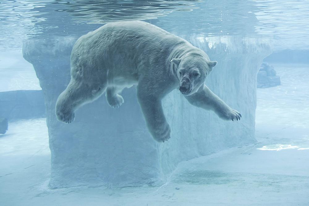 Polar Bear underwater, Singapore Zoo  - 860-282287