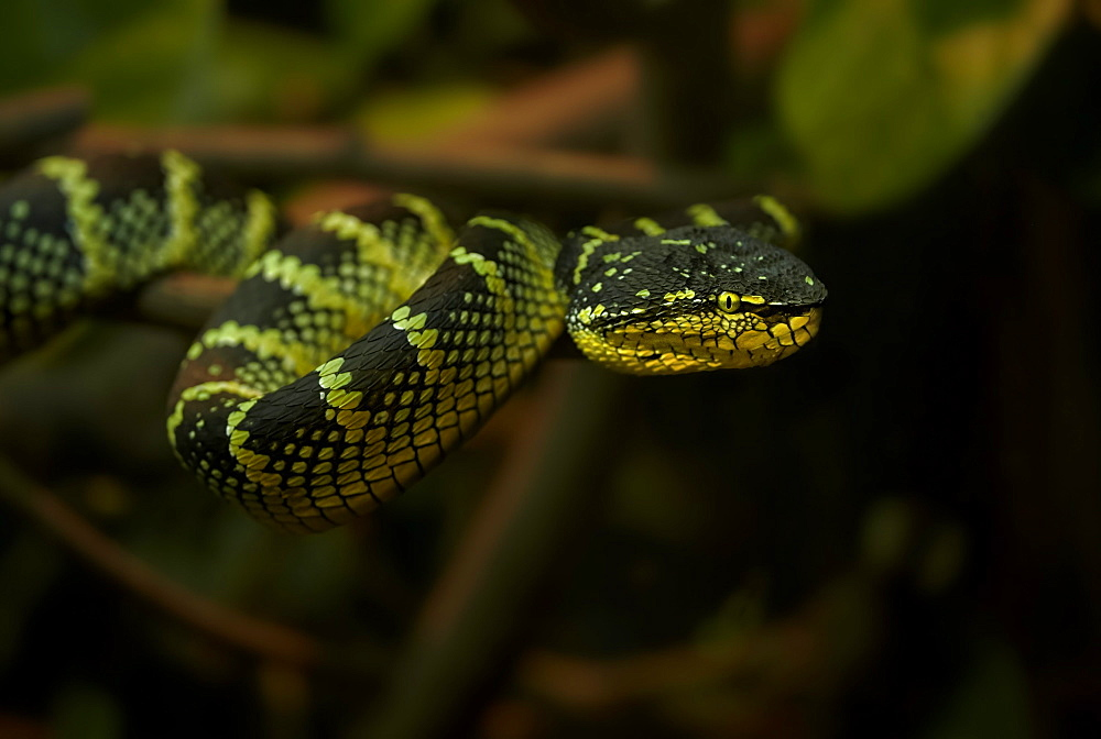 Wagler's Pit Viper, Singapore Zoo