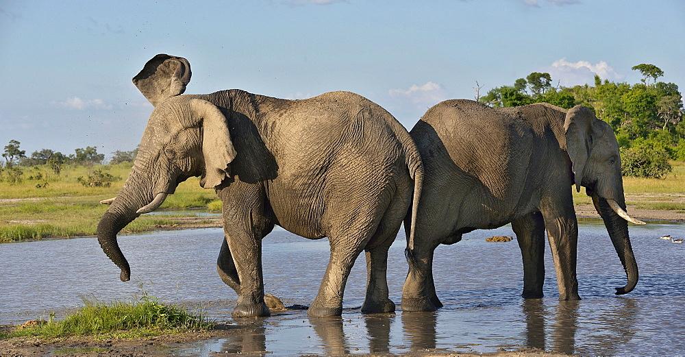 African Elephants in water, Savuti Chobe NP Botswana