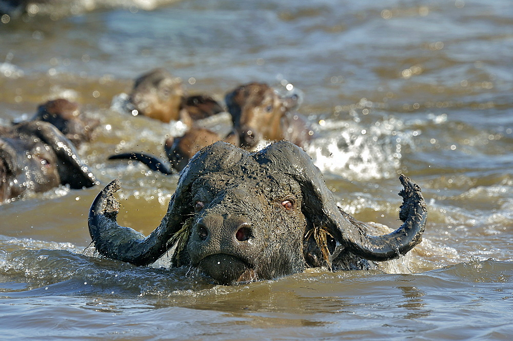 African buffalo in the river, Savuti Chobe NP Botswana