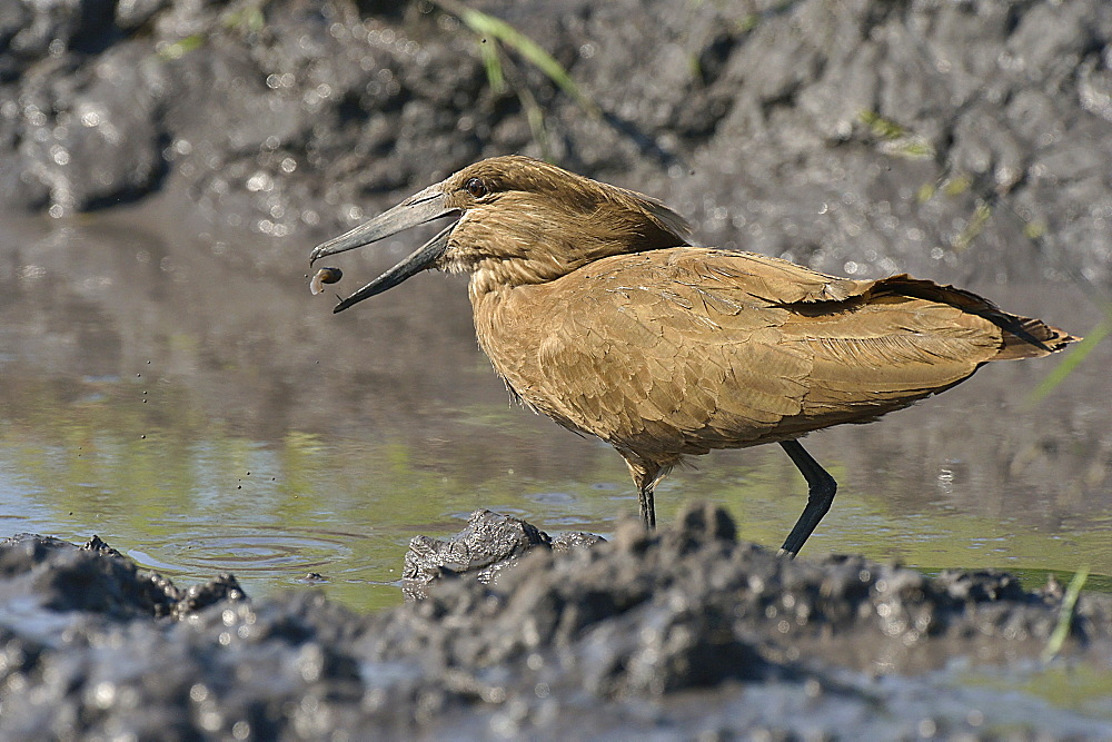 Hamerkop capturing a tadpole on the bank, Botswana