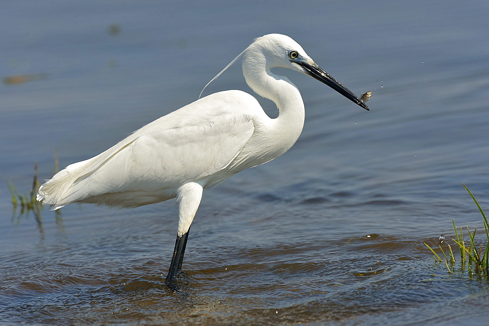 egret in water, Botswana