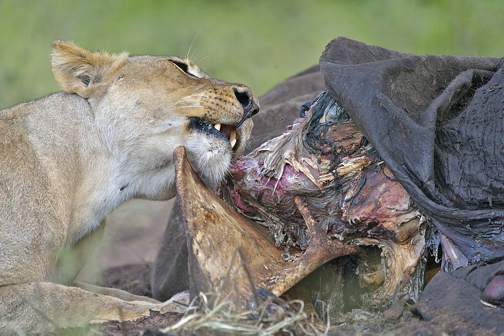Lioness and carcass African Elephant, Botswana