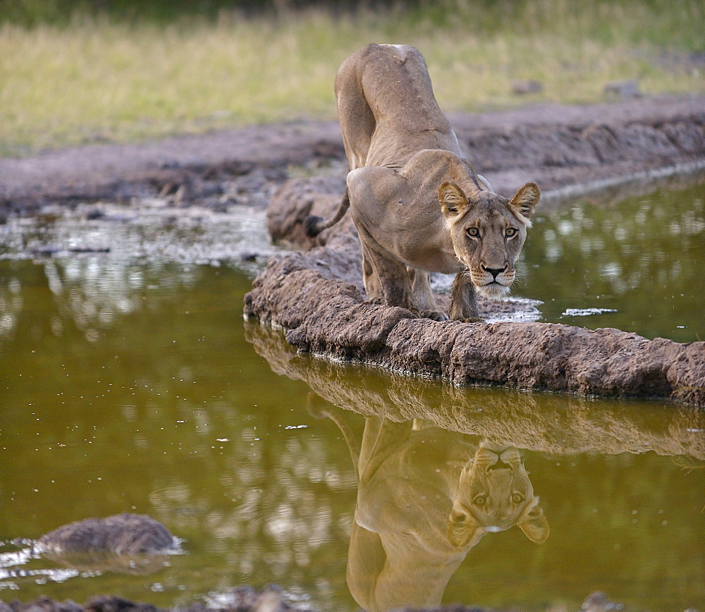 Lioness on the bank, Kalahari Botswana