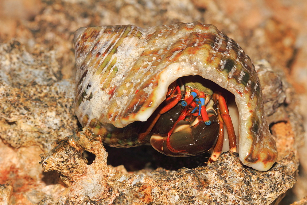Left-handed hermit crab on rocky shore, French Polynesia