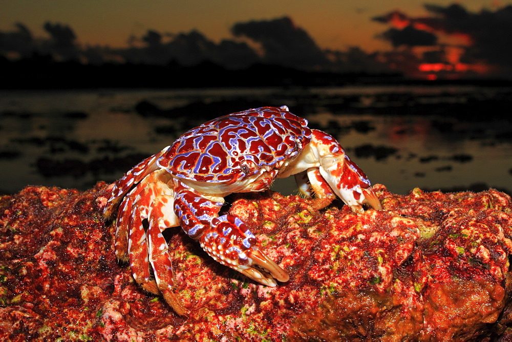 Purple-and-orange Xanthid-Crab at dusk, French Polynesia