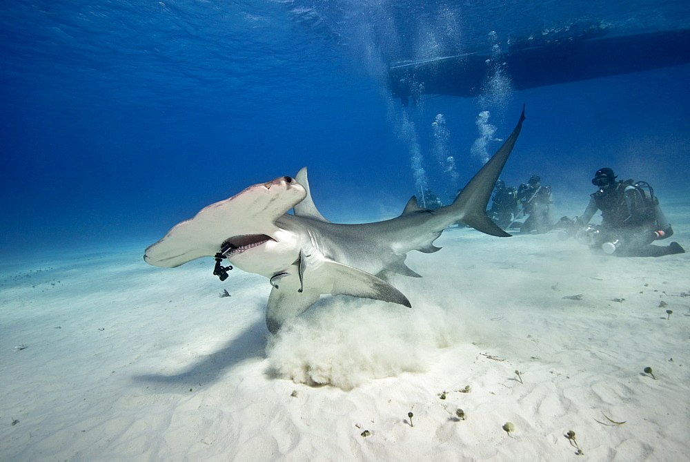 Great Hammerhead Shark and divers on sandy bottom, Bahamas
