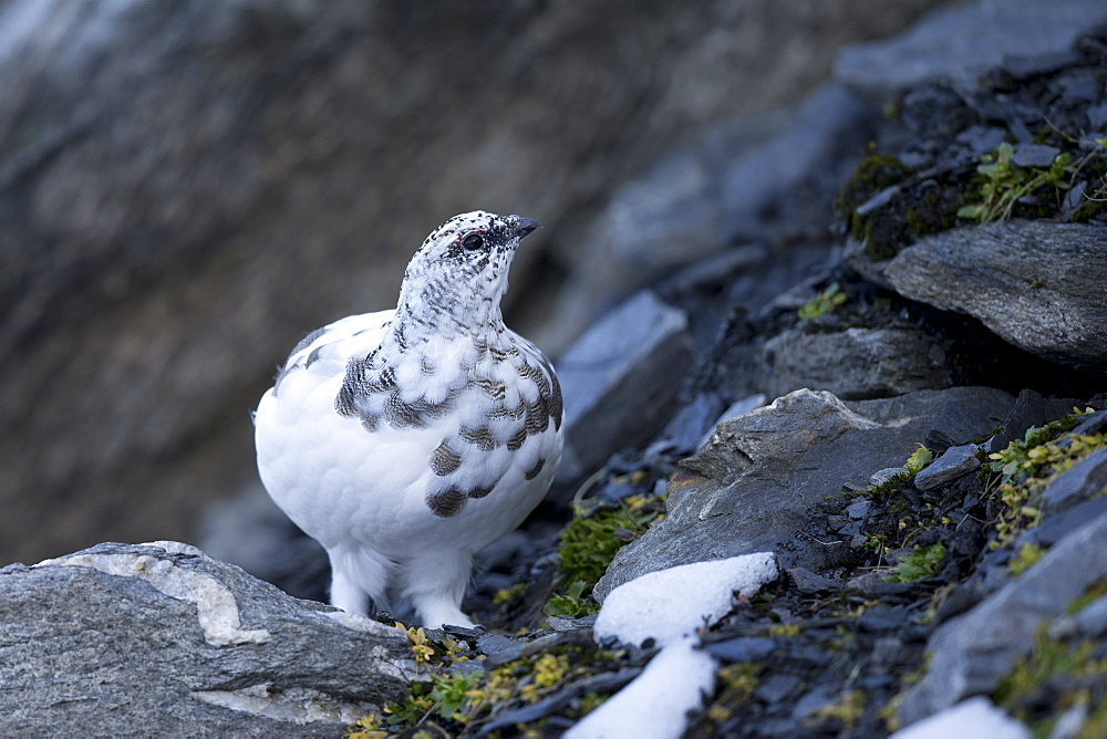 Rock Ptarmigan intermediate plumage, Swiss Alps
