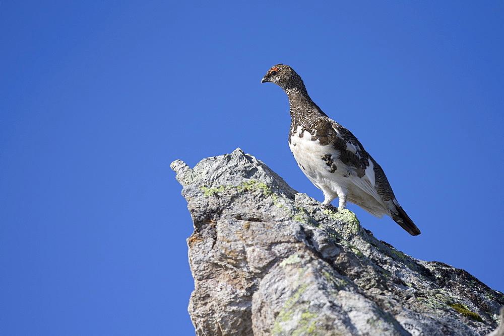 Rock Ptarmigan male intermediate plumage, Swiss Alps