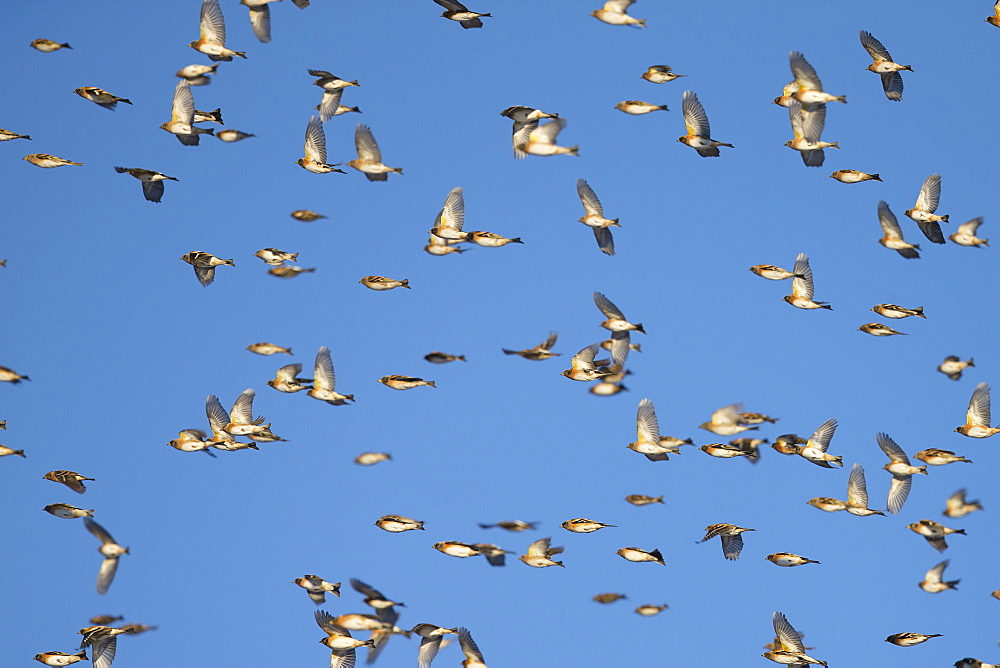 Bramblings in migration, Fribourg Switzerland