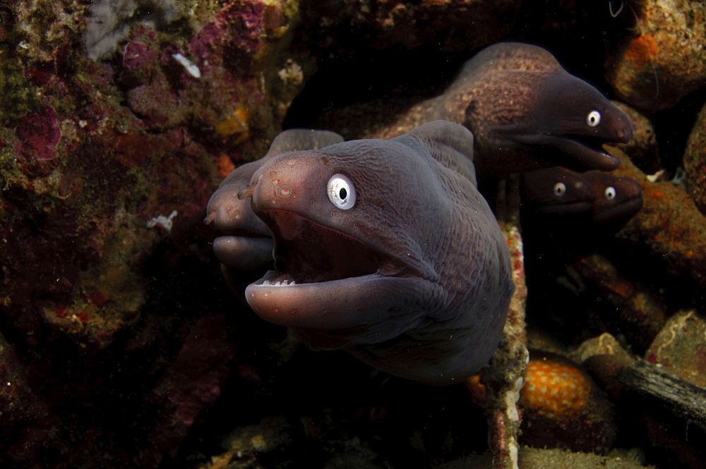 White Eye Moray Group on reef, Moluccus  Indonesia