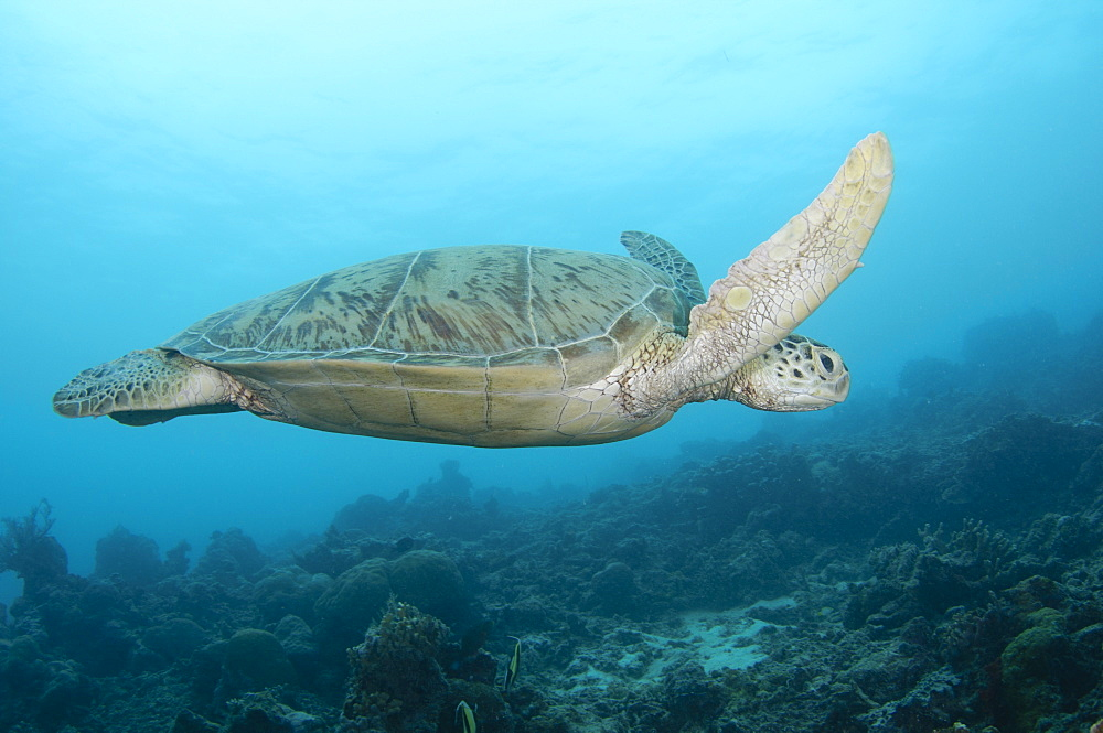 Green Turtle, Maratua Atoll  Borneo  Indonesia