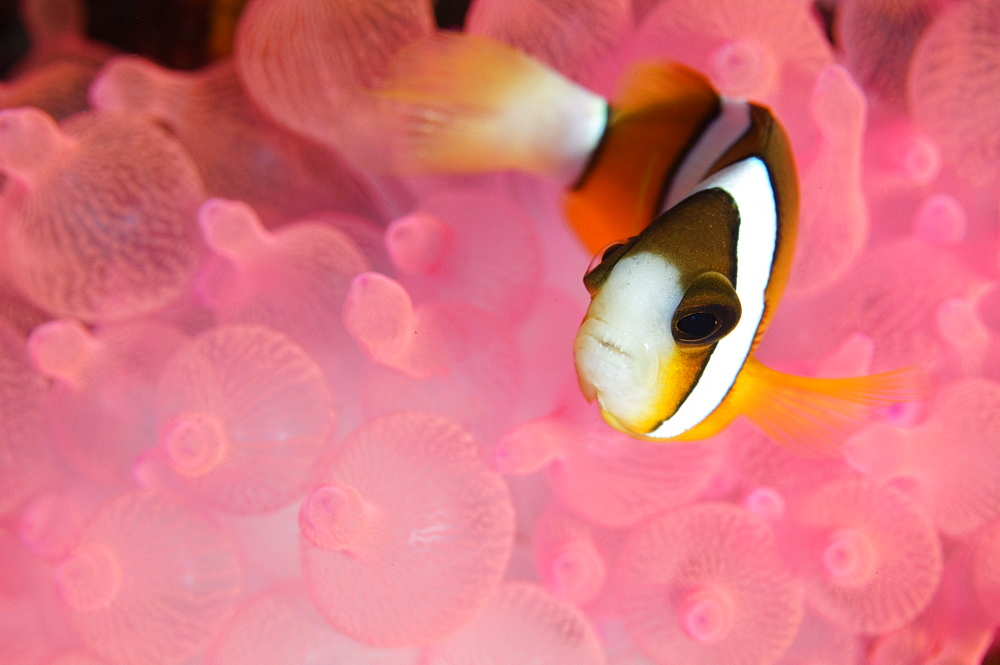 Clark's Anemonefish in pink bubble tip anemone, Indonesia