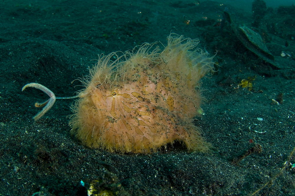 Hairy Striated Frogfish, Lembeh Strait  Indonesia