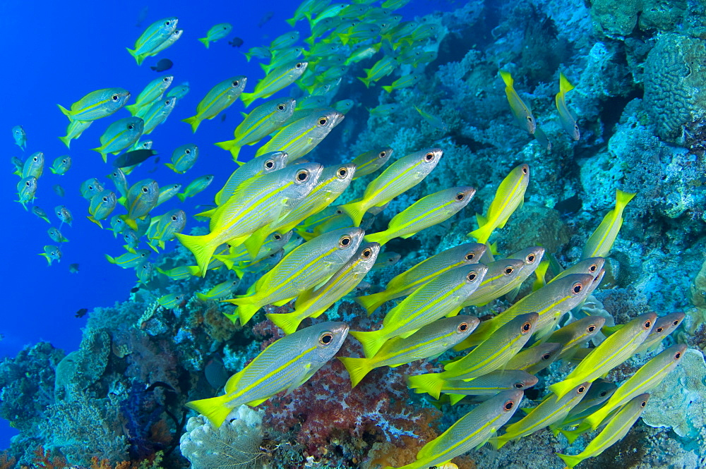 School of Bigeye Snappers, Raja Ampat  Indonesia