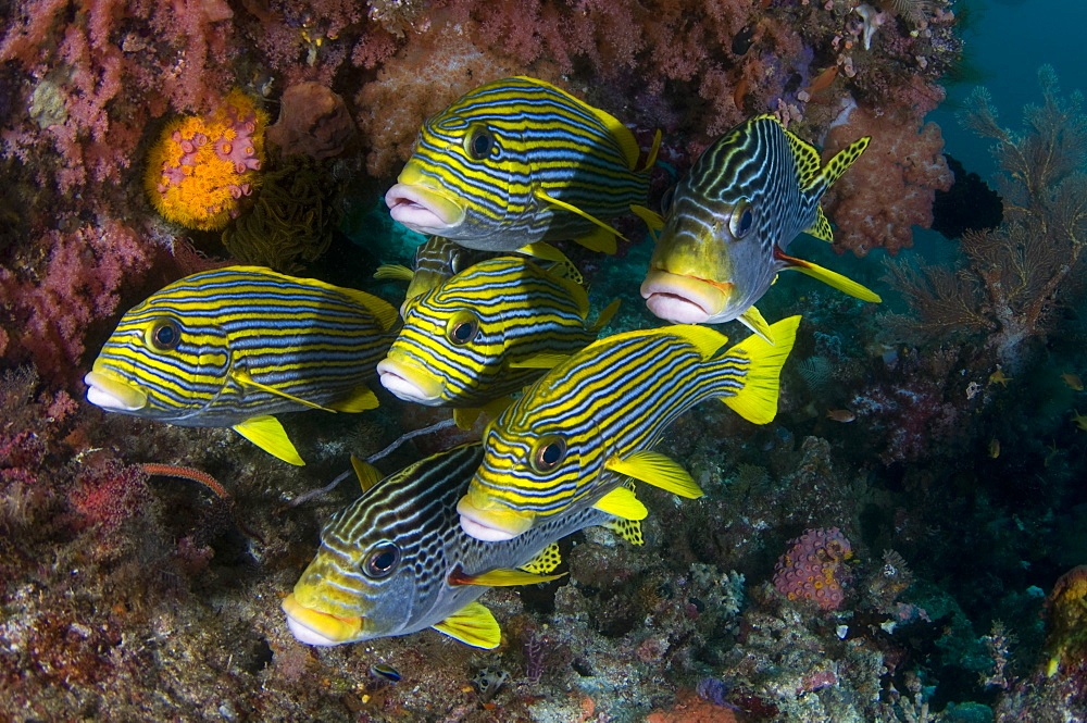 Schooling Ribbon Sweetlips, Raja Ampat  Indonesia