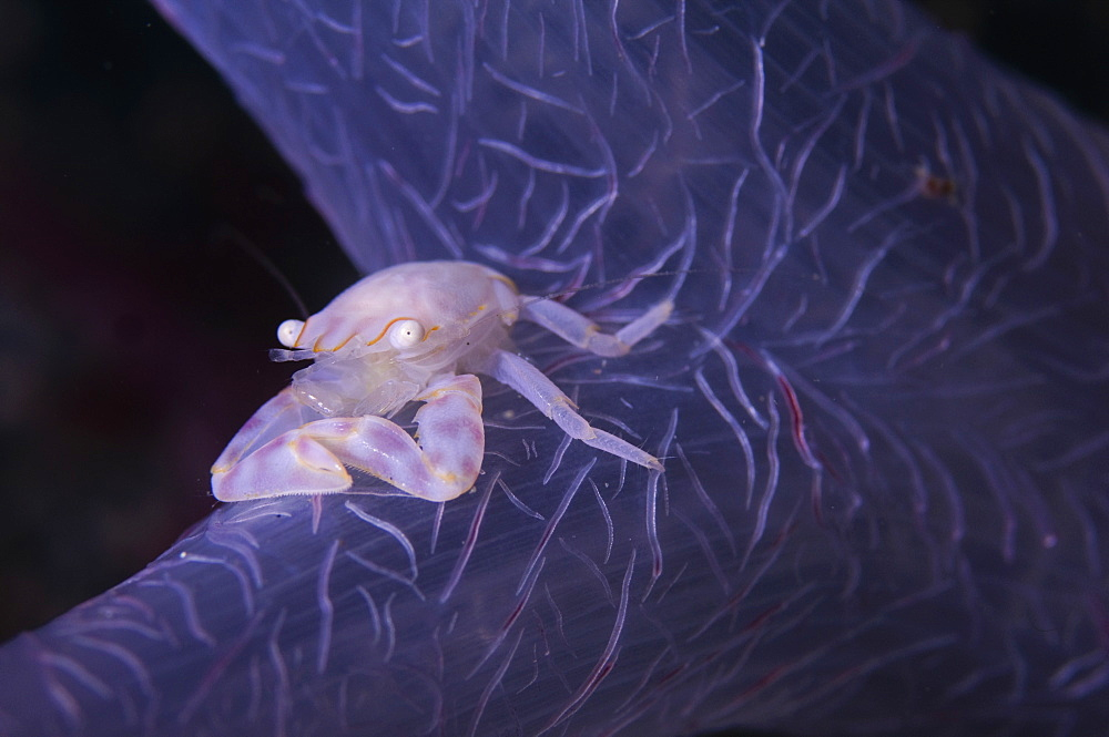 Porcelain Crab on Soft Coral, Raja Ampat  Indonesia