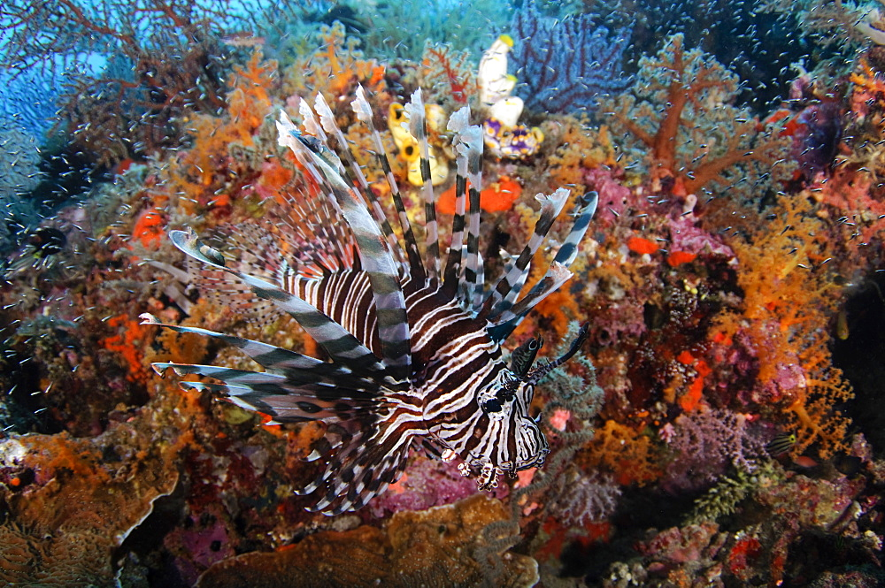 Lionfish and Soft Corals, Raja Ampat  Indonesia