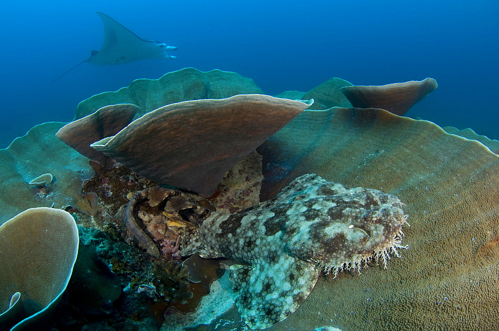 Tassled wobbegong shark and Manta Ray-Raja Ampat Indonesia