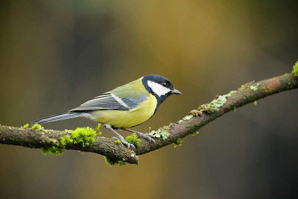 Great tit on a branch, Ardennes Belgium