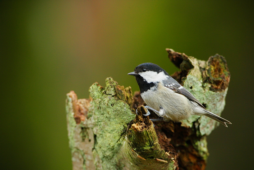 Coal Tit on a stump, Ardennes Belgium