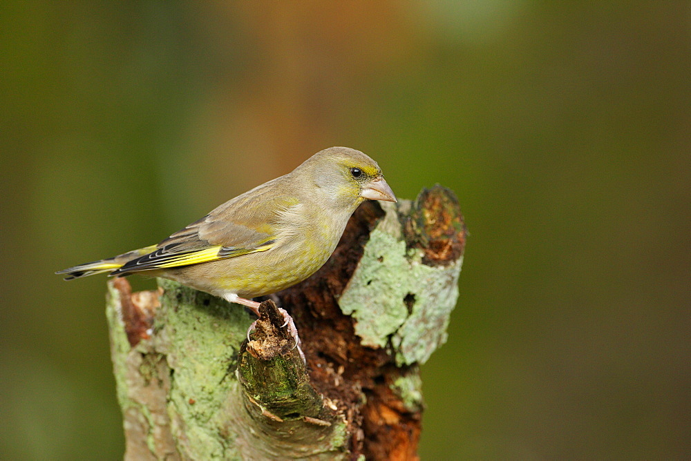 Greenfinch on a stump, Ardennes Belgium