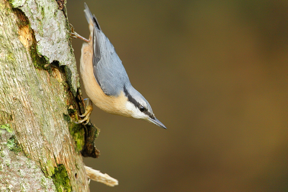 Wood Nuthatch on a tree trunk, Ardennes Belgium