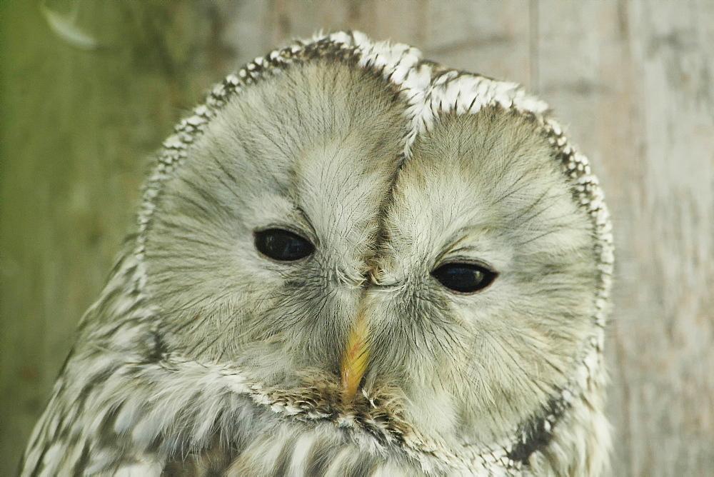 Portrait of Tawny Owl, Bayerischer Wald Germany