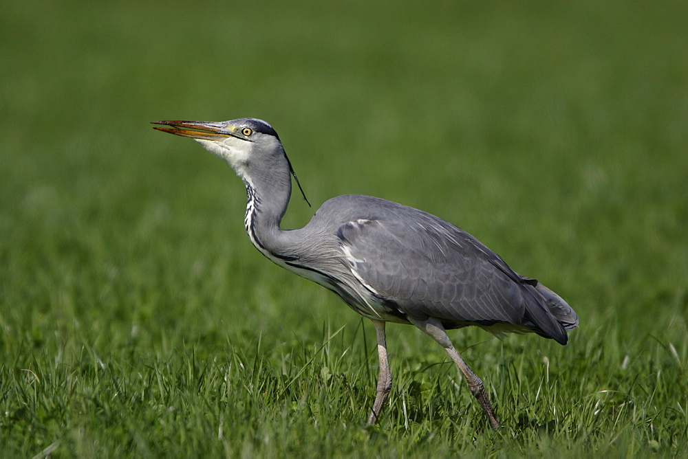 Grey Heron walking in a meadow, France