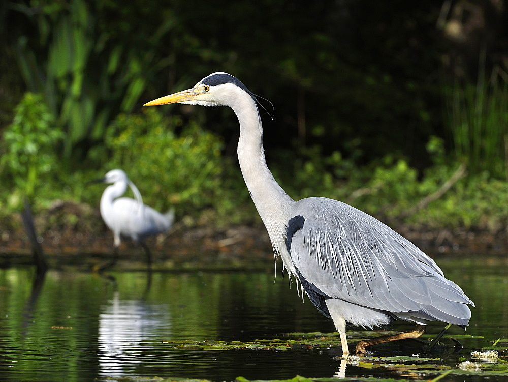 Grey Heron walking in the leaves of lily-France