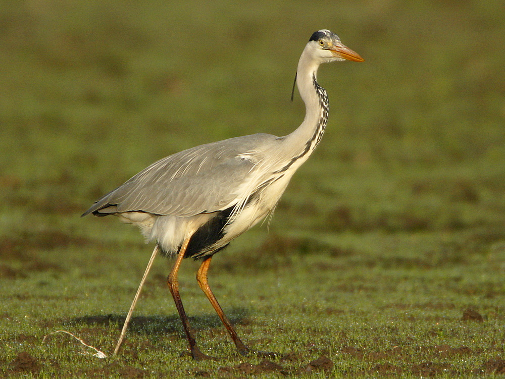 Grey Heron defecating in a meadow, France
