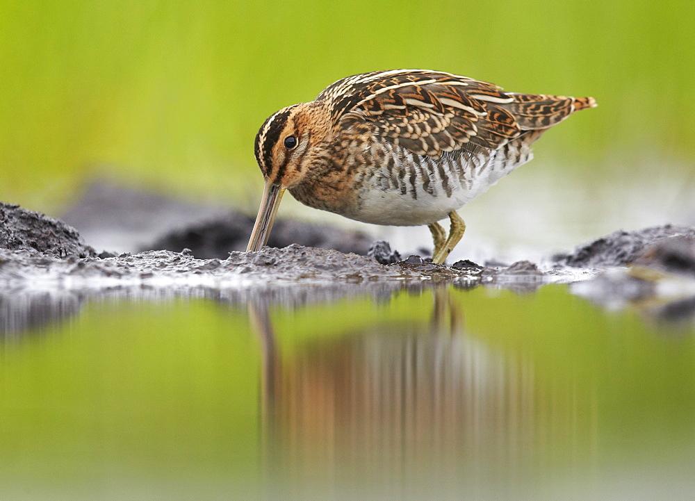 Common Snipe feeding on mudflat, Finland