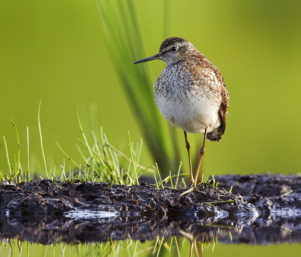 Wood Sandpiper on mudflat, Finland