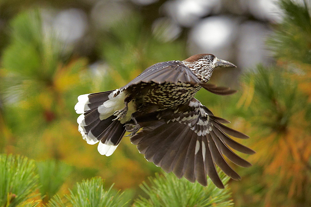 Spotted Nutcracker in flight, Finland