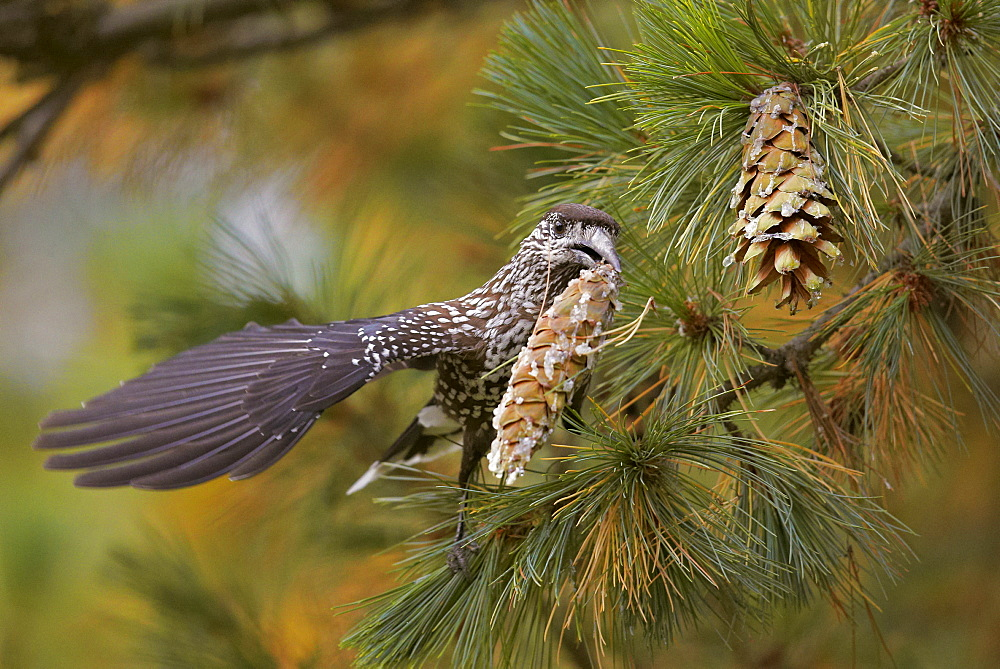 Spotted Nutcracker carrying pine cone, Finland
