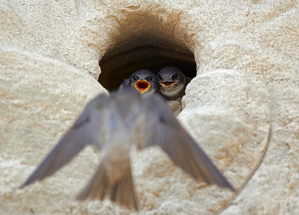 Sand Martin landing to nest burrow, Finland