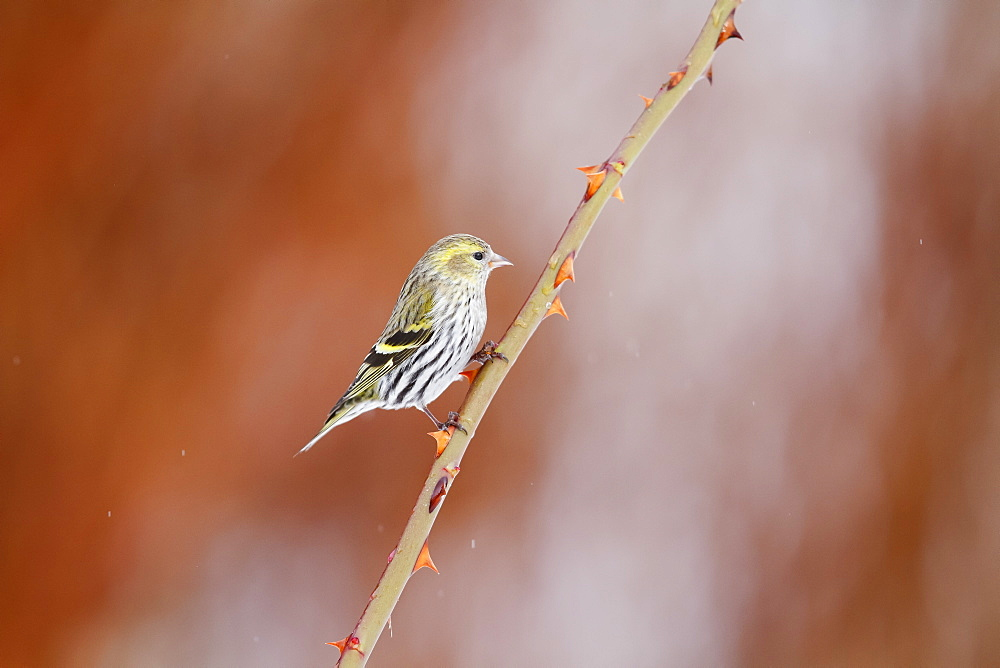 Siskin on a blackberry winter, Alsace France