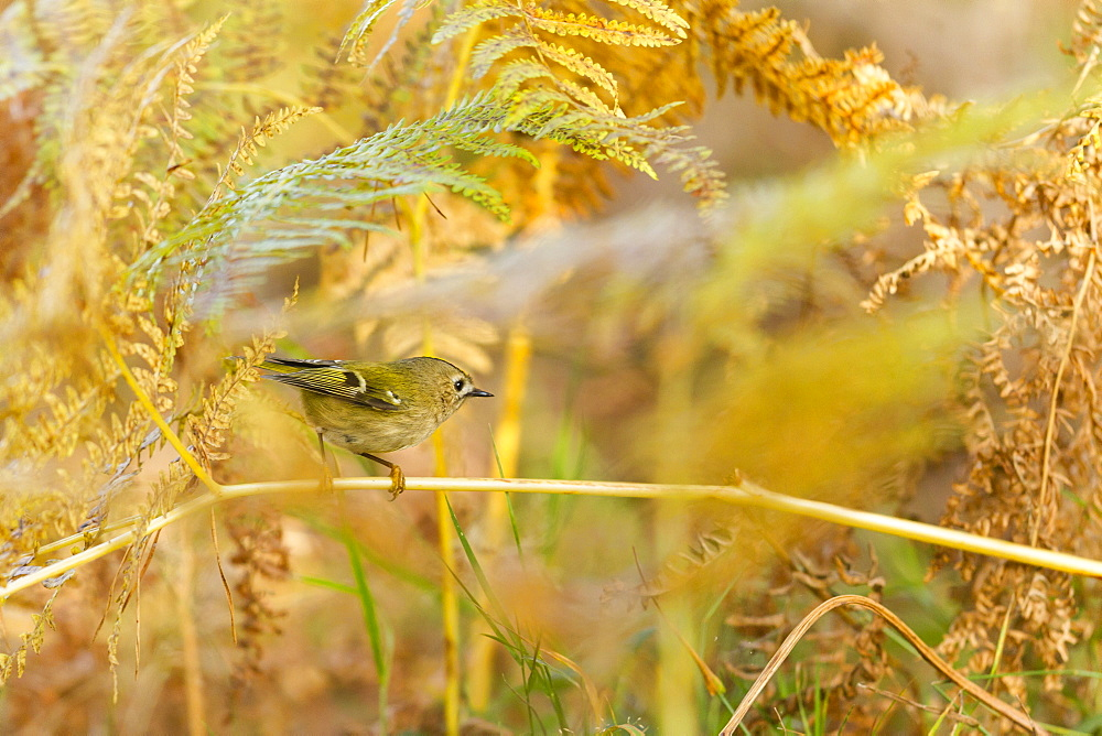 Goldcrest in ferns in autumn, Alsace France
