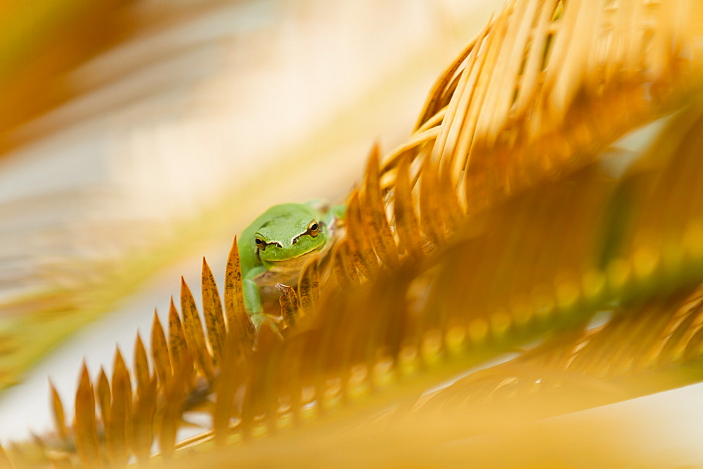 Southern tree frog on leaf of Cycas, France