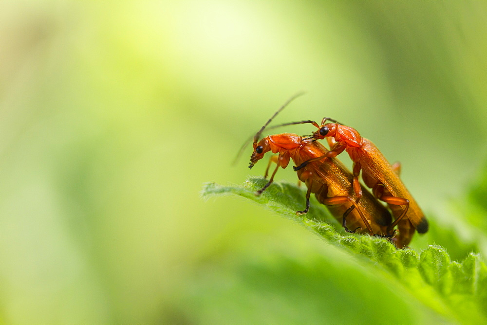 Common Red Soldier beetle mating on grass, France