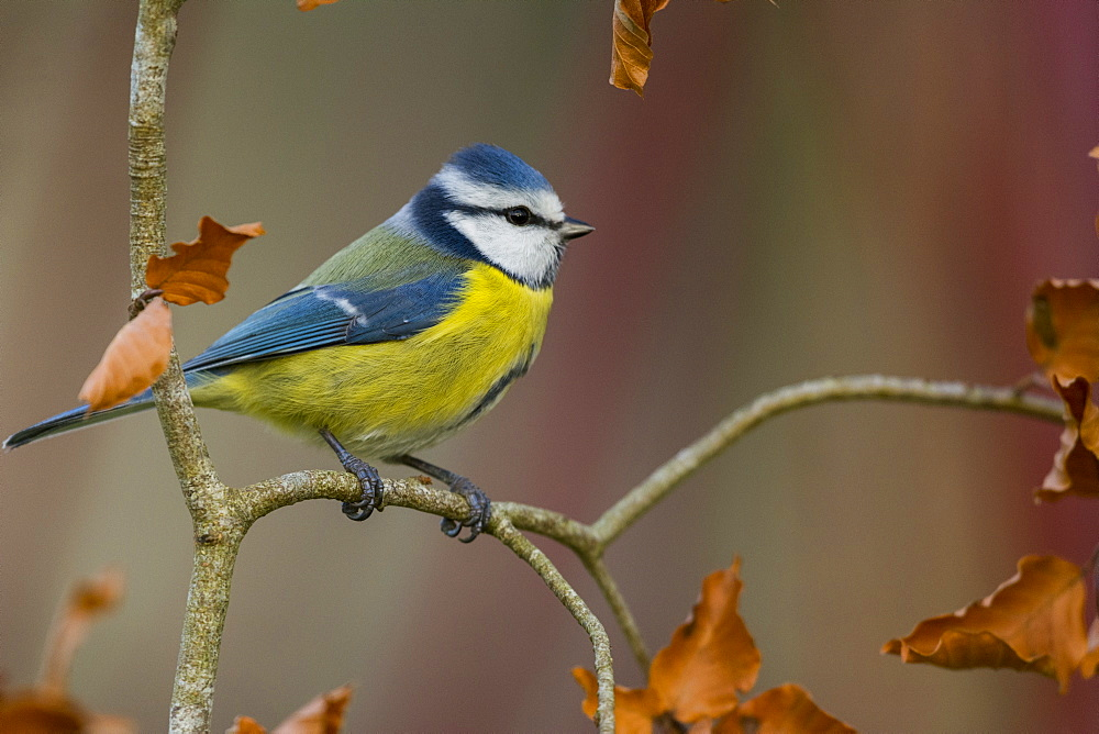 Blue tit on a branch, Picardy France