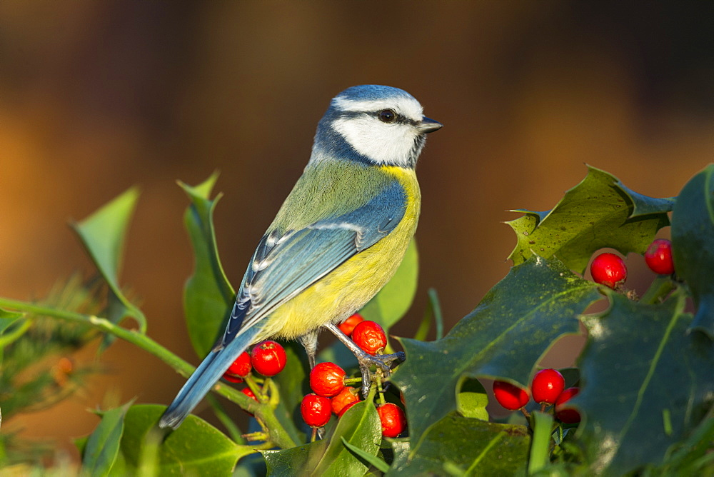Blue tit on the Holly, Picardy France