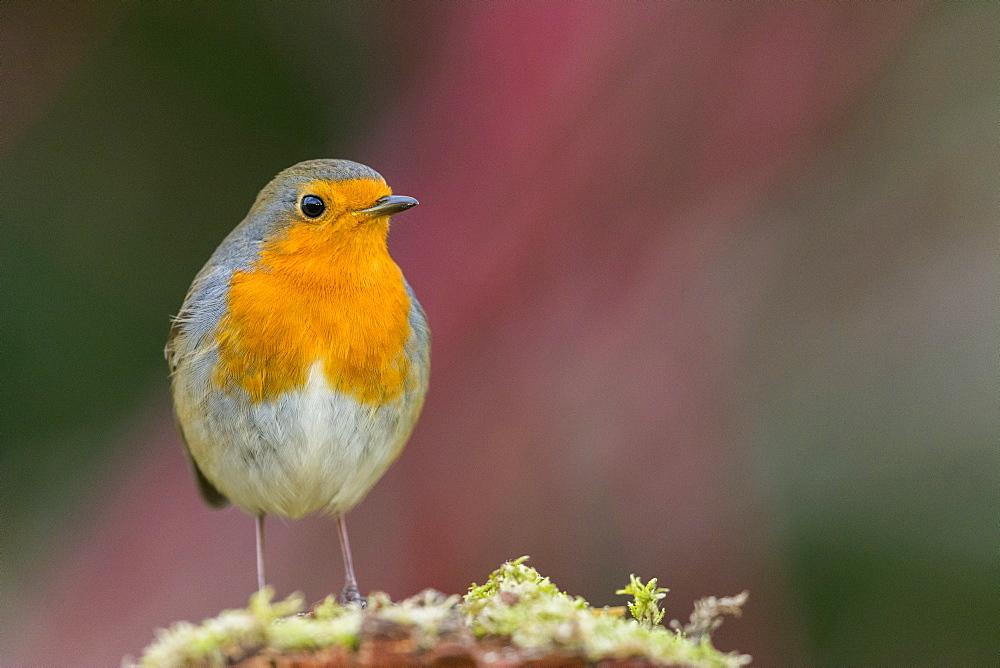 European Robin, Picardy France