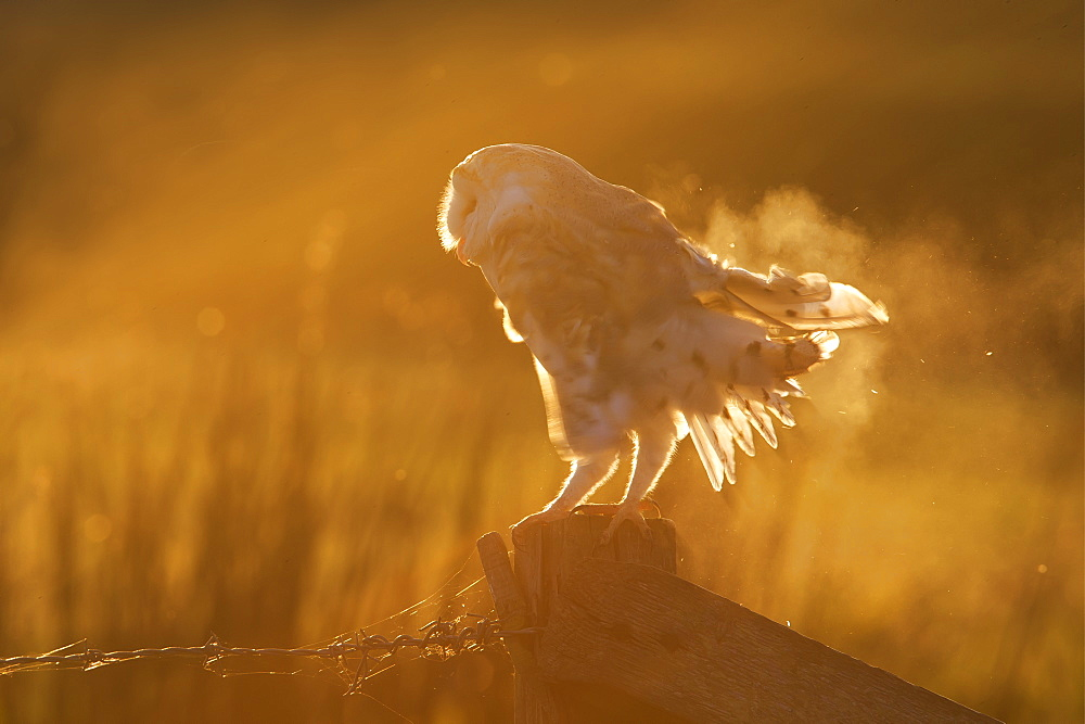 Barn Owl perched on a post at sunset in autumn, GB