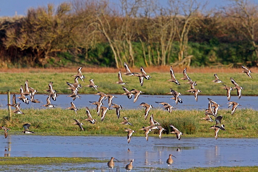 Black-tailed Godwits in flight in winter, Normandy France