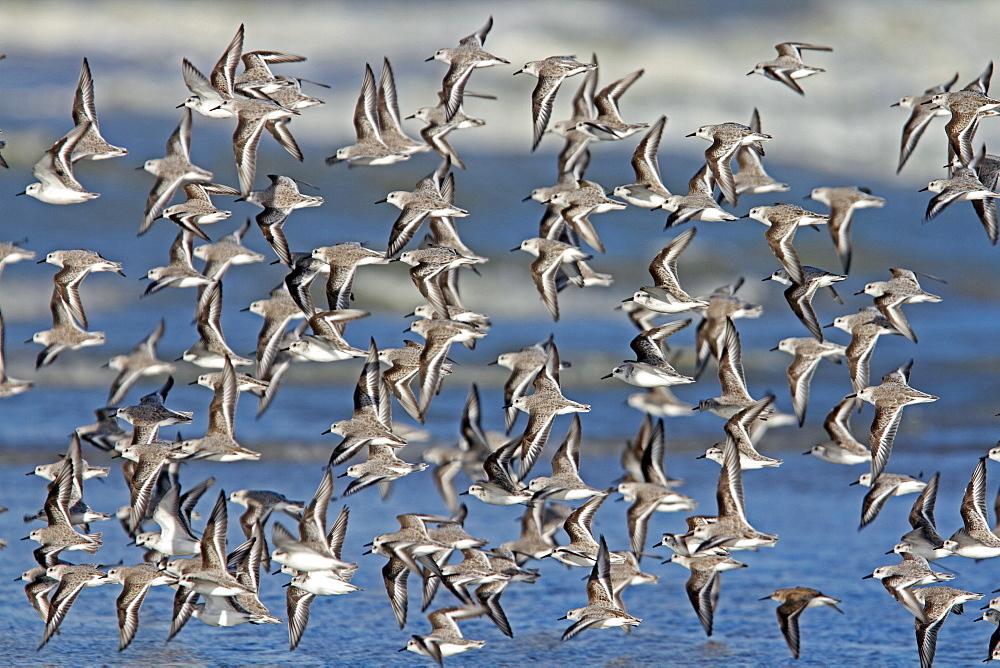 Sanderling in flight, Normandy France