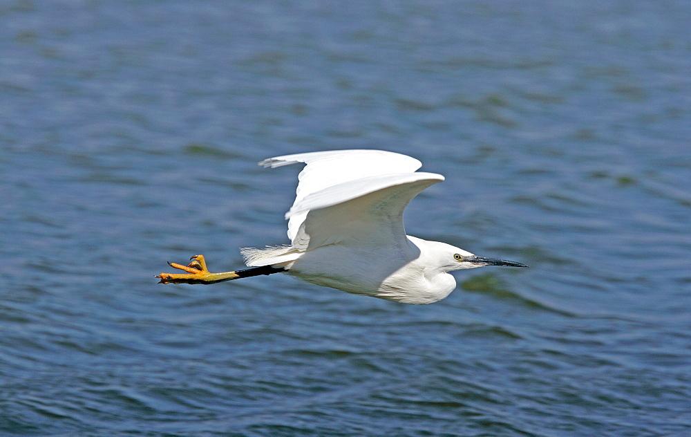 Little Egret in flight, Normandy France