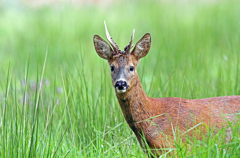 Buck roedeer in the grass, Normandy France
